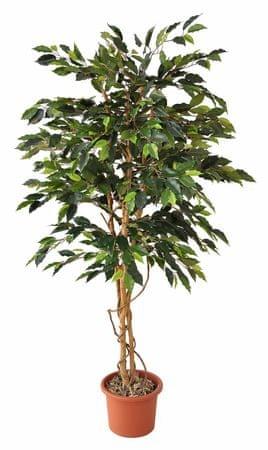 EverGreen fikus v cvetličnem loncu, 170 cm