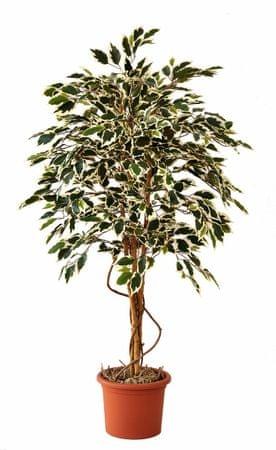 EverGreen Ficus hawaii výška 140 cm v kvetináči