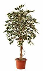 EverGreen Ficus hawaii výška 170 cm v kvetináči