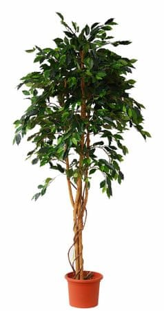 EverGreen fikus v cvetličnem loncu, 200 cm