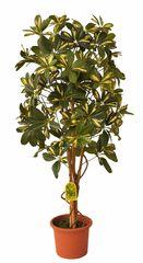 EverGreen Schefflera strom výška 110 cm v květináči, žlutá