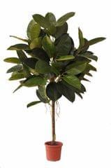 EverGreen fikus v cvetličnem loncu, 150 cm