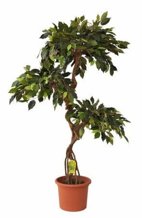 EverGreen fikus v cvetličnem loncu, 140 cm