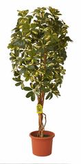 EverGreen Sztuczna szeflera o wysokości 140 cm w doniczce, żółta
