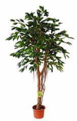 EverGreen Fikus z korzeniami powietrznymi o wysokości 170 cm w doniczce