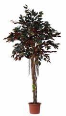 EverGreen Sztuczny fikus capensia z korzeniami powietrznymi o wysokości 170 cm