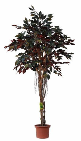 EverGreen Capensia vzdušné kořeny výška 170 cm v květináči