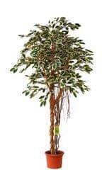 EverGreen Fikus hawajski z korzeniami powietrznymi o wysokości 170 cm