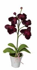EverGreen Orchidea v kvetináči výška 35 cm, vínová