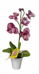 EverGreen Storczyk w doniczce o wysokości 35 cm, fioletowy