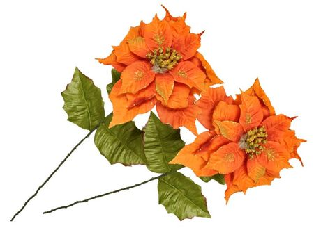 EverGreen Poinsettia veľkokvetá 2 ks ohnivá
