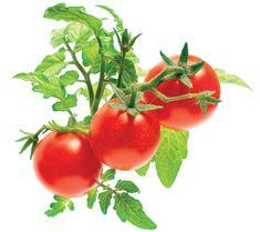 Click and Grow náplň pre smart kvetináče a farmy - Mini paradajky, 3ks v balení
