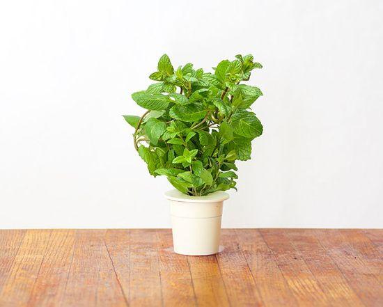 Click and Grow náplň pro smart květináče a farmy - Máta Peprná, 3ks v balení