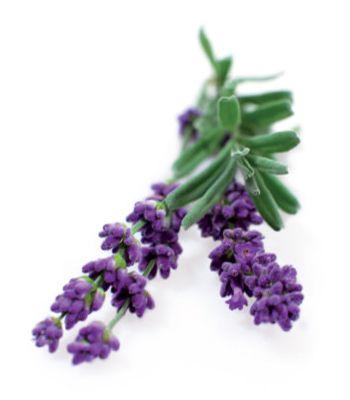 Click and Grow náplň pro smart květináče a farmy - Levandule, 3ks v balení