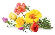 Click and Grow náplň pro smart květináče a farmy - Šrucha velkokvětá, 3ks v balení