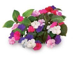 Click and Grow náplň pro smart květináče a farmy - Netýkavka, 3ks v balení