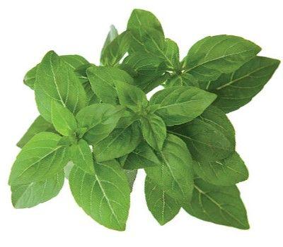 Click and Grow náplň pre smart kvetináče a farmy - Bazalka pravá (trpasličia, grécka), 3ks v balení
