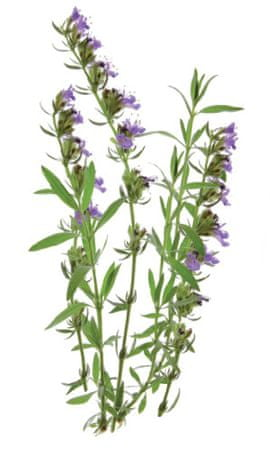Click and Grow náplň pre smart kvetináče a farmy - Yzop lekársky, 3ks v balení