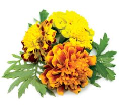 Click and Grow náplň pro smart květináče a farmy - Aksamitník (Afrikán), 3ks v balení