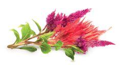Click and Grow náplň pre smart kvetináče a farmy - Plamenník, 3ks v balení