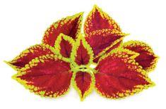 Click and Grow náplň pre smart kvetináče a farmy - Žihľava africká (Coleus), 3ks v balení