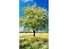 Dimex Fototapeta MS-2-0096 Kvitnúci strom 150 x 250 cm