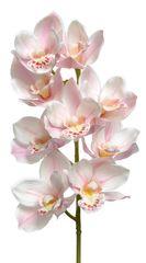 Kaemingk Orchidea, prawdziwy dotyk, poliester - bladoróżowy