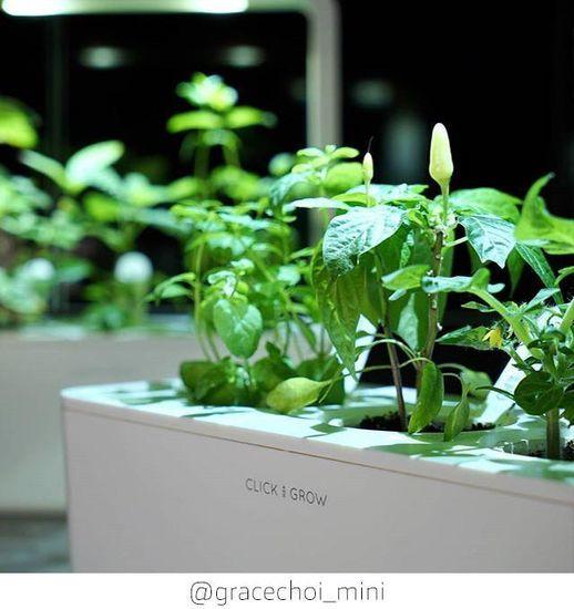Click and Grow náplň pro smart květináče a farmy - Chili papričky, 3ks v balení
