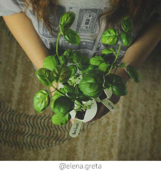 Click and Grow náplň pro smart květináče a farmy - Bazalka, 3ks v balení