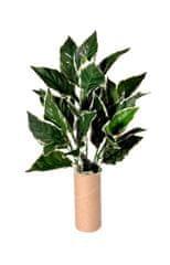 EverGreen Hosta, 5 výhonů, 50 cm