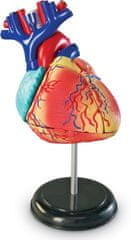 Learning Resources anatomiczny model serca