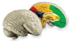 Learning Resources Anatomický model mozku