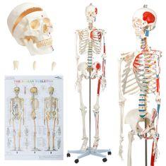 shumee Anatomický výukový model ľudskej kostry s plagátom 181 cm