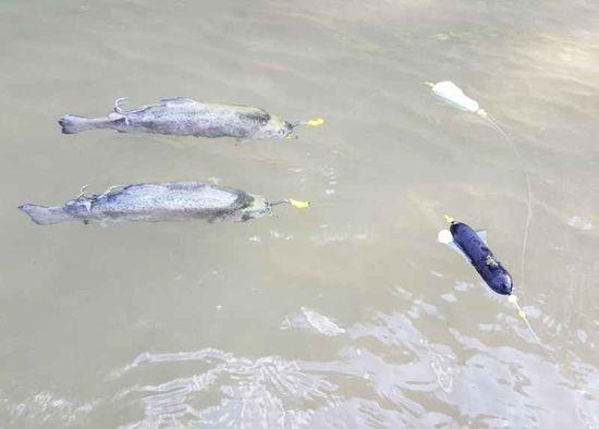 Black Cat Podvodný plavák na mŕtvu rybku 30g